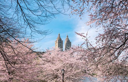 花「The San Remo twin tower stands behind the full-bloomed Cherry blossoms trees in Central Park at New York City.」:スマホ壁紙(6)