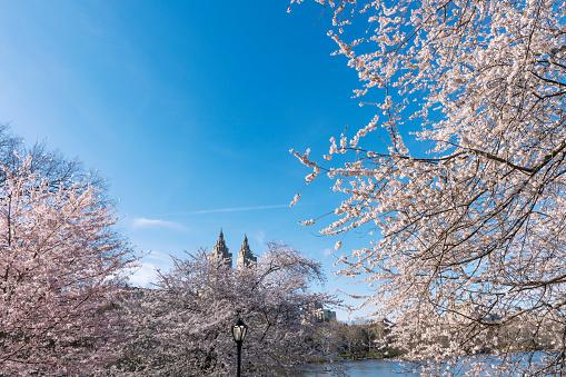 花「The San Remo twin tower stands behind the full-bloomed Cherry blossoms trees at the Lake in Central Park New York.」:スマホ壁紙(11)