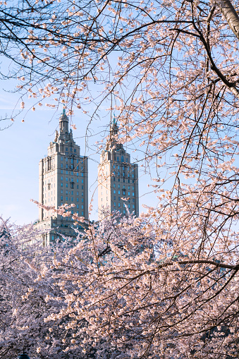 Cherry Blossom「The San Remo twin tower stands behind the full-bloomed Cherry blossoms trees in Central Park at New York City.」:スマホ壁紙(13)