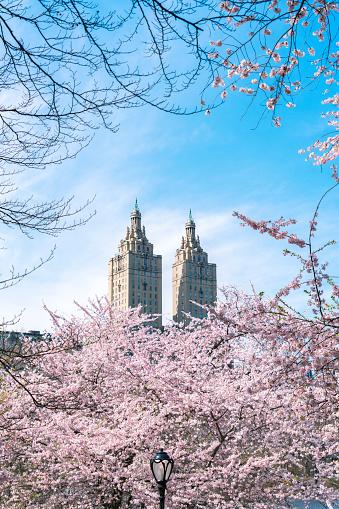 花「The San Remo twin tower stands behind the full-bloomed Cherry blossoms trees in Central Park at New York City.」:スマホ壁紙(7)