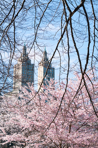 桜「The San Remo twin tower stands behind the full-bloomed Cherry blossoms trees in Central Park at New York City.」:スマホ壁紙(4)