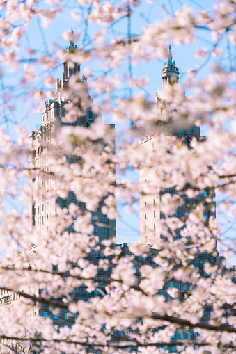 Cherry Blossom「The San Remo twin tower stands behind the full-bloomed Cherry blossoms trees in Central Park at New York City.」:スマホ壁紙(11)