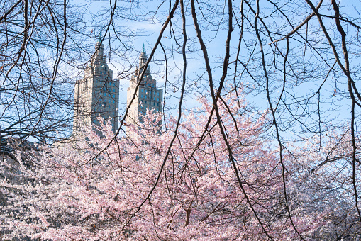 桜「The San Remo twin tower stands behind the full-bloomed Cherry blossoms trees in Central Park at New York City.」:スマホ壁紙(3)