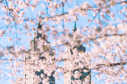 Cherry Blossom「The San Remo twin tower stands behind the full-bloomed Cherry blossoms trees in Central Park at New York City.」:スマホ壁紙(9)