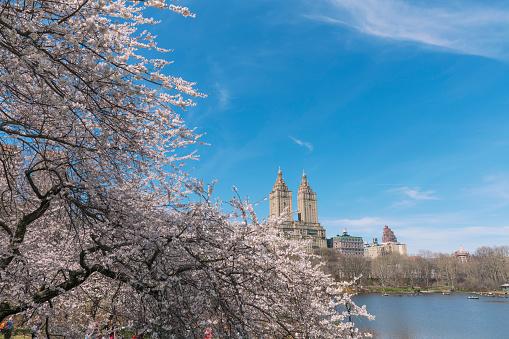 花「The San Remo twin tower stands behind the full-bloomed Cherry blossoms trees at the Lake in Central Park New York.」:スマホ壁紙(10)