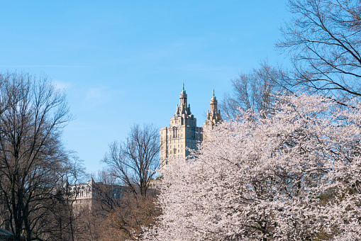 桜「The San Remo twin tower stands behind the full-bloomed Cherry blossoms trees in Central Park at New York City.」:スマホ壁紙(1)