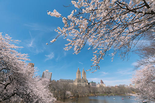 Cherry Blossom「The San Remo twin tower stands behind the full-bloomed Cherry blossoms trees at the Lake in Central Park New York.」:スマホ壁紙(19)