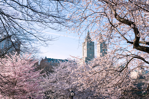 Cherry Blossom「The San Remo twin tower stands behind the full-bloomed Cherry blossoms trees in Central Park at New York City.」:スマホ壁紙(10)