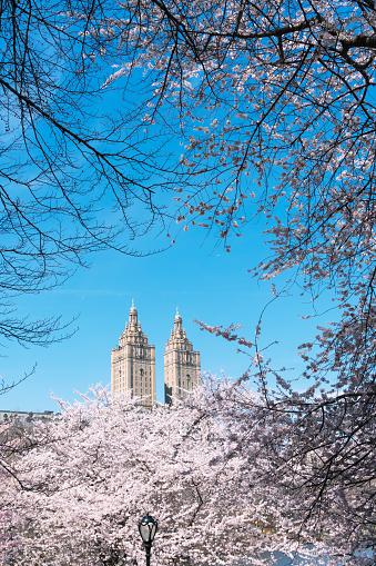 花「The San Remo twin tower stands behind the full-bloomed Cherry blossoms trees in Central Park at New York City.」:スマホ壁紙(18)