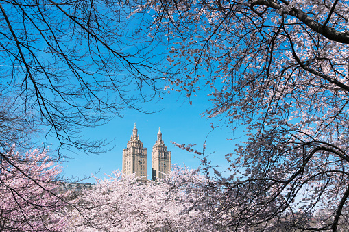 Cherry Blossom「The San Remo twin tower stands behind the full-bloomed Cherry blossoms trees in Central Park at New York City.」:スマホ壁紙(17)