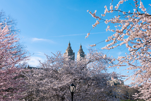 桜「The San Remo twin tower stands behind the full-bloomed Cherry blossoms trees in Central Park at New York City.」:スマホ壁紙(2)