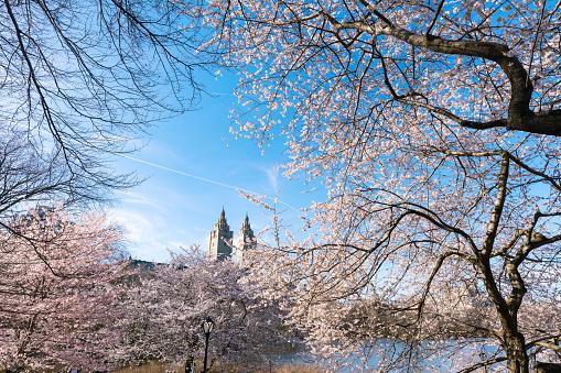 花「The San Remo twin tower stands behind the full-bloomed Cherry blossoms trees at the Lake in Central Park New York.」:スマホ壁紙(8)