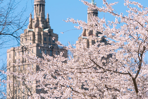 Cherry Blossom「The San Remo twin tower stands behind the full-bloomed Cherry blossoms trees in Central Park at New York City.」:スマホ壁紙(0)