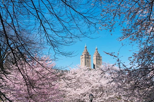 Cherry Blossom「The San Remo twin tower stands behind the full-bloomed Cherry blossoms trees in Central Park at New York City.」:スマホ壁紙(18)