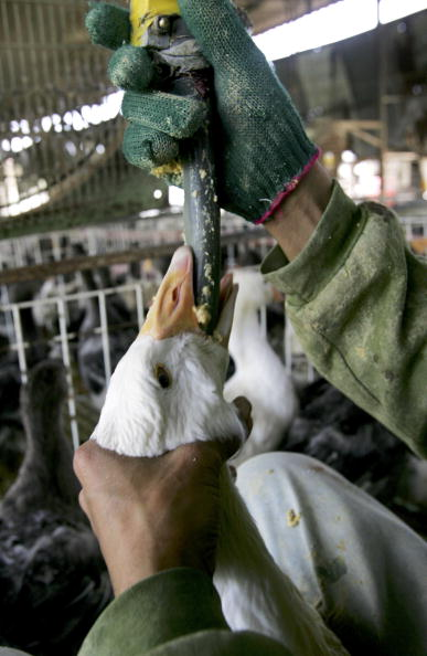 雁「Force Feeding Of Geese To Be Banned In Israel」:写真・画像(18)[壁紙.com]