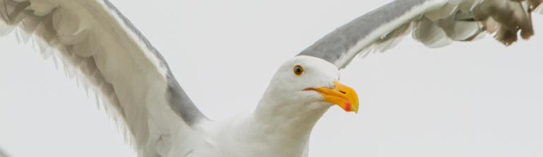 Seagull「Seagull on Oregon coast」:スマホ壁紙(14)