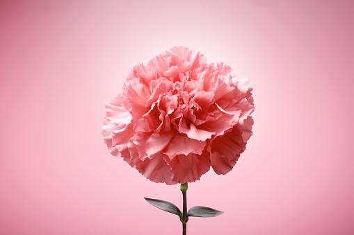 カーネーション「Single Carnation Flower」:スマホ壁紙(9)