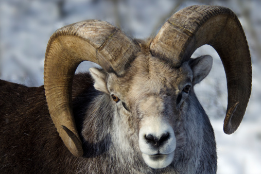 Horned「Stone Sheep ram portrait」:スマホ壁紙(5)