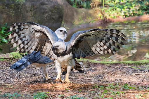 Animal Wing「Harpy Eagle」:スマホ壁紙(7)