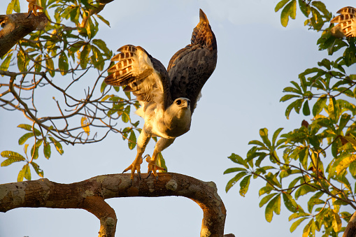 Amazon Rainforest「Harpy eagle」:スマホ壁紙(12)