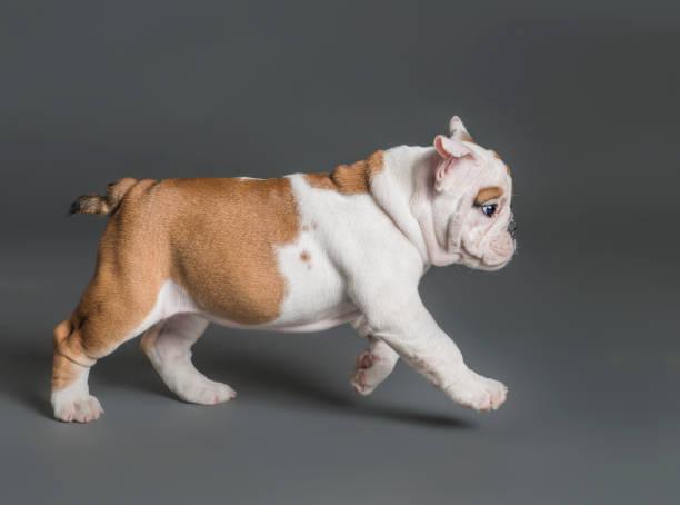 Puppy walking:スマホ壁紙(壁紙.com)