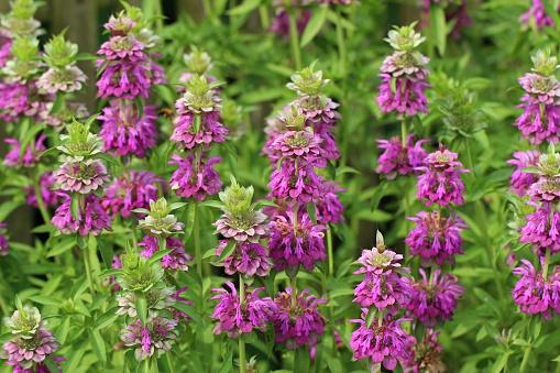 Bergamot「Bergamot Herb」:スマホ壁紙(16)