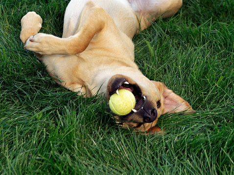 Rolling on Back「Dog laying upside down in grass with tennis ball」:スマホ壁紙(15)