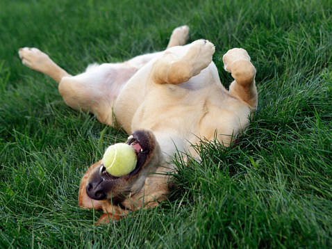 Rolling on Back「Dog laying upside down in grass with tennis ball」:スマホ壁紙(16)