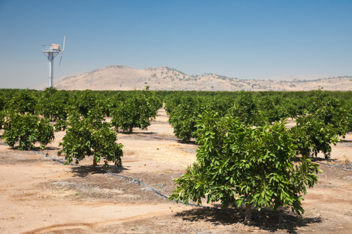 Grove「Pistachio trees (Pistacia vera Kerman) near Fresno in Fresno County, Central California, Sierra Nevada, California, United States of America」:スマホ壁紙(3)