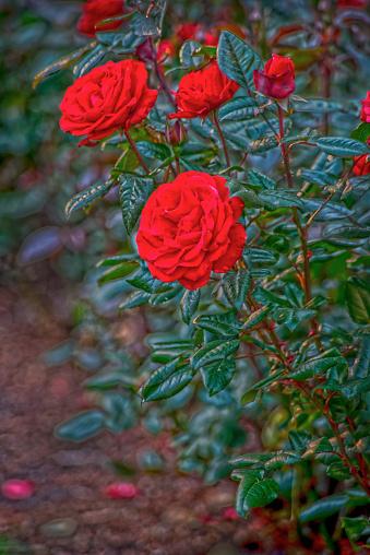 画像加工フィルタ「Row of red roses」:スマホ壁紙(7)