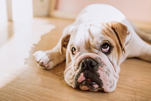 Making A Face「Funny english bulldog」:スマホ壁紙(9)
