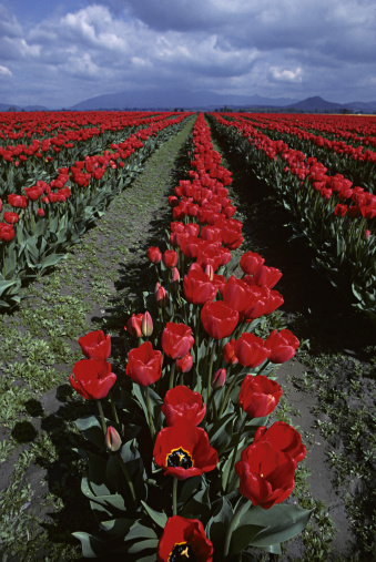 花畑「Rows of red tulips in field」:スマホ壁紙(6)