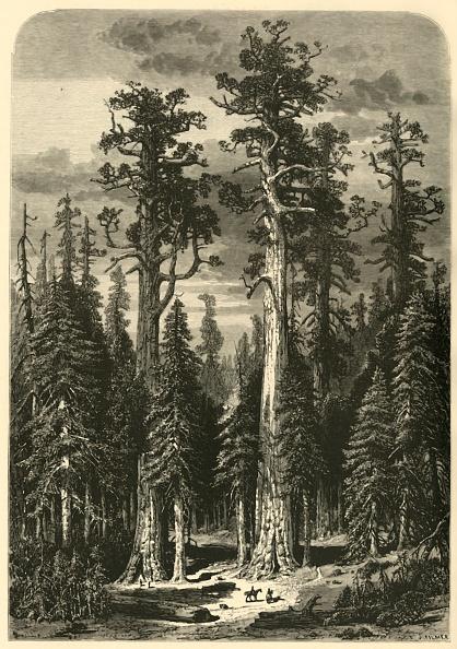 Grove「Big Trees - Mariposa Grove」:写真・画像(0)[壁紙.com]