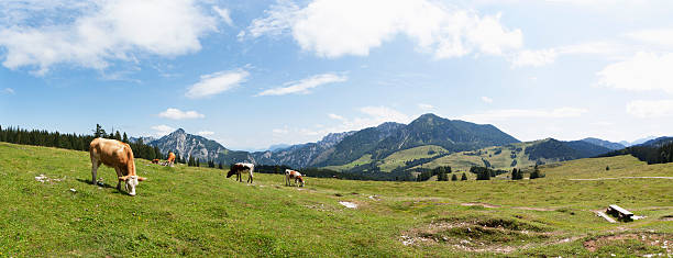 Austria, Cow grazing on alp pasture at Postalm:スマホ壁紙(壁紙.com)