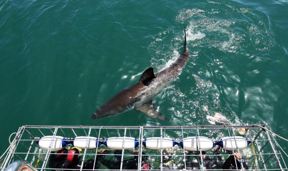 Cage「Cage Diving With Great White Sharks In South Africa」:写真・画像(11)[壁紙.com]