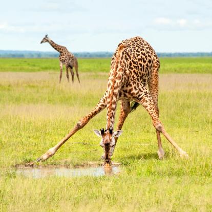 Giraffe「Giraffe is spreading the legs to drink water」:スマホ壁紙(2)