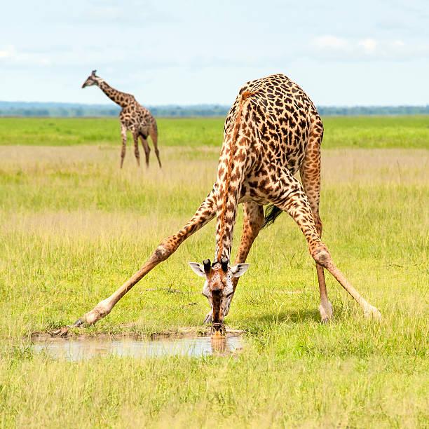 Giraffe is spreading the legs to drink water:スマホ壁紙(壁紙.com)