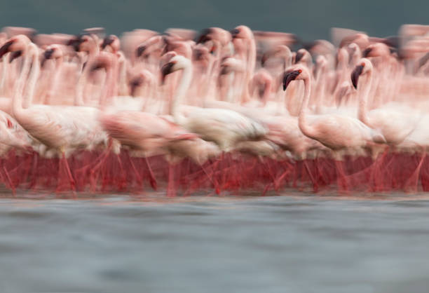 Eye-level, blurred motion view of Lesser Flamingos walking together on shallow water lake:スマホ壁紙(壁紙.com)