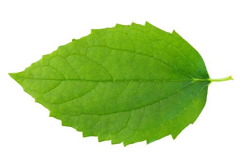 Extreme Close-Up「Green leaf on wbite background.」:スマホ壁紙(19)