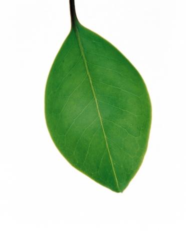 緑色「Green leaf」:スマホ壁紙(19)