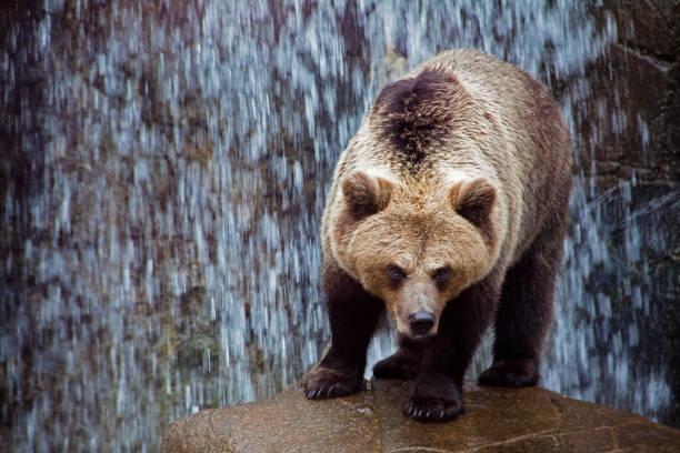 Bear against waterfall:スマホ壁紙(壁紙.com)