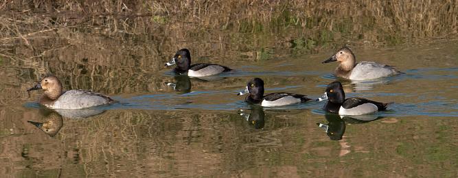 Birds「Flock of ducks swimming on pond.」:スマホ壁紙(9)