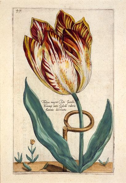 チューリップ「Tulipa Mayor Do Jacobi Bommy」:写真・画像(3)[壁紙.com]