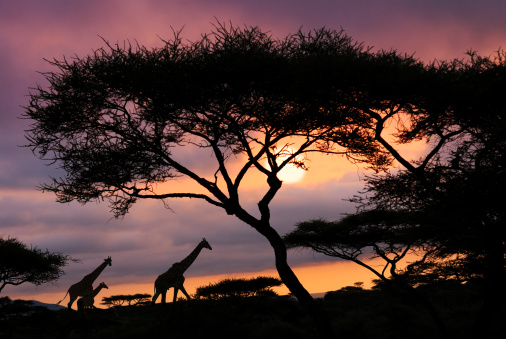 Giraffe「african safari sunset」:スマホ壁紙(10)
