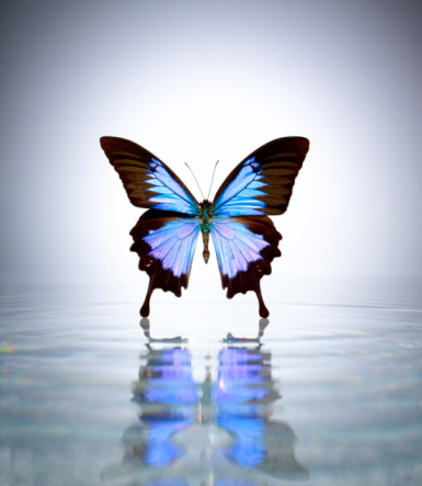 Gray Background「Blue Mountain Swallow Butterfly in a pool of water」:スマホ壁紙(18)