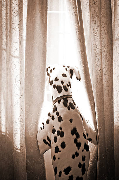Dalmatian at window:スマホ壁紙(壁紙.com)