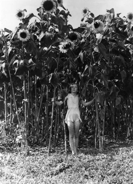 ひまわり「Giant Blooms」:写真・画像(5)[壁紙.com]
