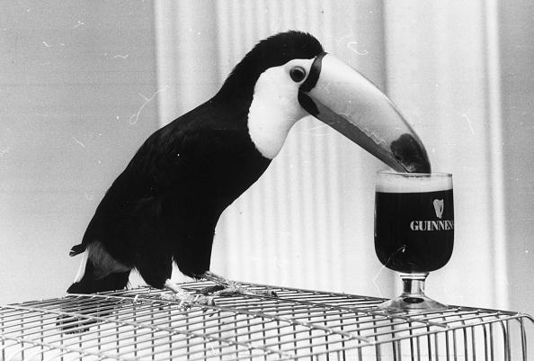 Bird「Guinness Toucan」:写真・画像(17)[壁紙.com]