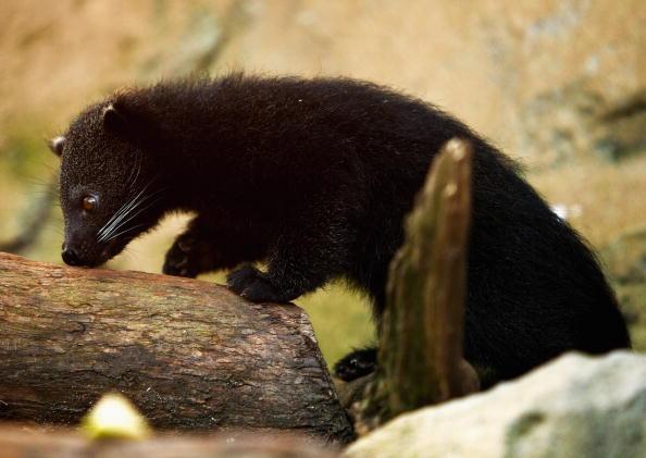 動物「Taronga Zoo Debuts Binturong Baby」:写真・画像(4)[壁紙.com]