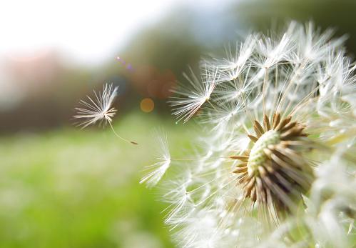 Season「Seed coming away from dandelion」:スマホ壁紙(9)